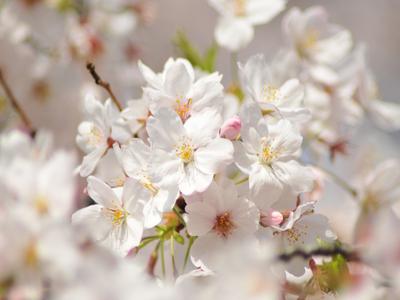 Sakura1w
