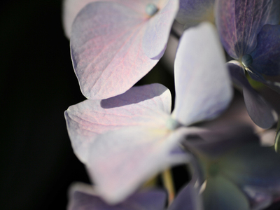 A_hydrangea_in_the_sunlightb1w