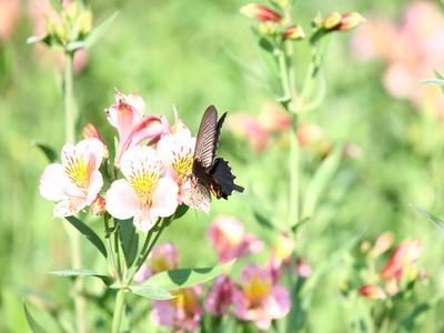 Butterflya1w