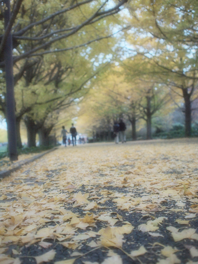 A_ginkgo_row_of_trees001w