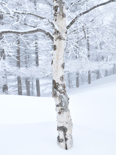 White_birch_wrapped_in_snow001w