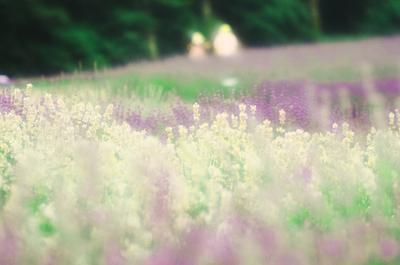 Lavender_field001w