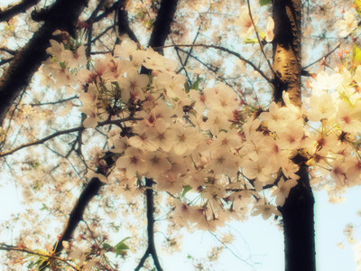 Cherry_blossoms_that_bloom_in_megur