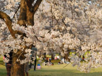 Sakuraj