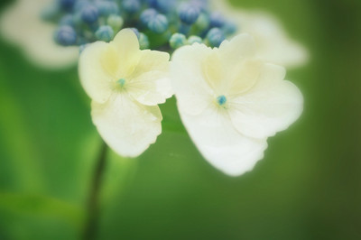 An_in_the_rain_wet_hydrangean1l