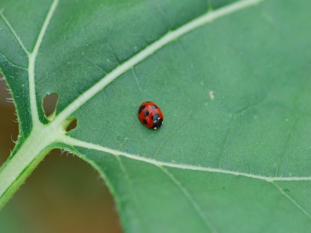 Ladybirda1