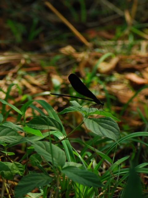 Dragonflyd1