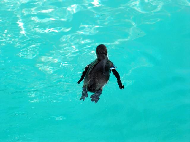 Penguinb1
