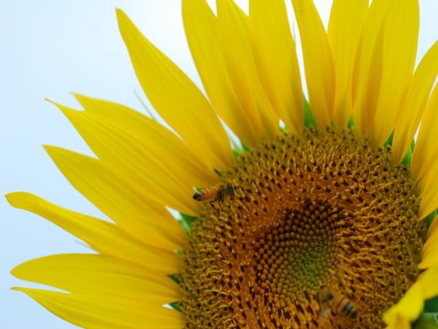 Sunflowerc1w
