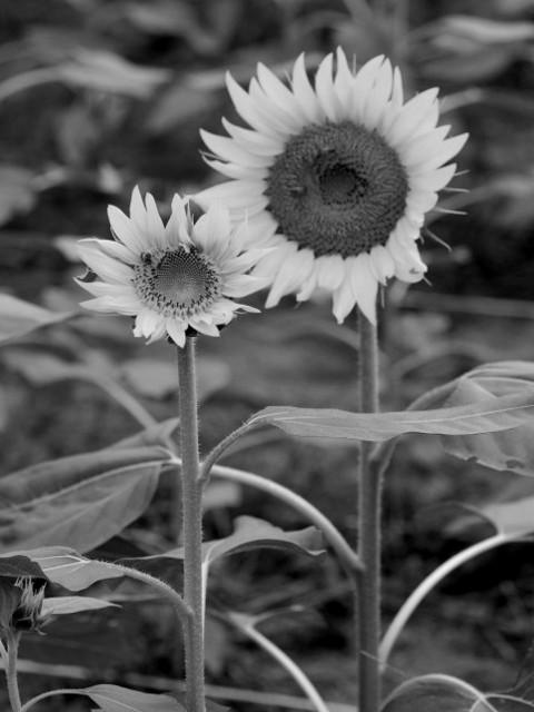 Sunflowerrw