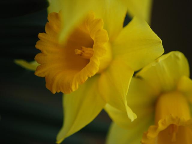 Trumpet_daffodila1w