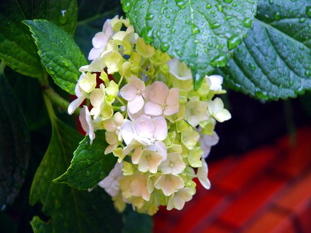 An_in_the_rain_wet_hydrangeae1w