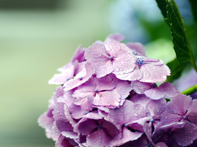 An_in_the_rain_wet_hydrangeal1w