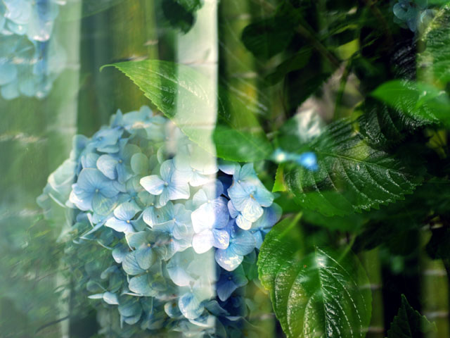 Hydrangeamultiple_exposurea1w
