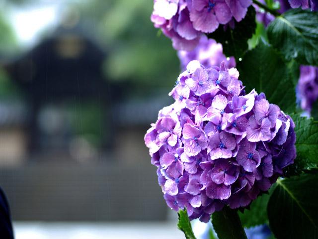 Hydrangea_in_kamakuraf2w