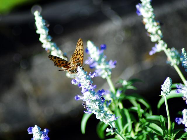 Butterflyb1w