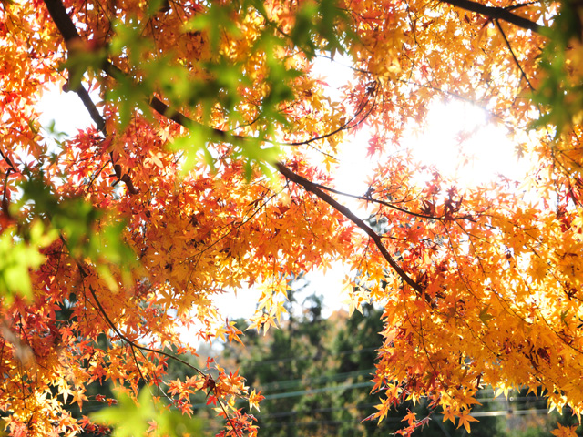 Autumnal_leavesk1w